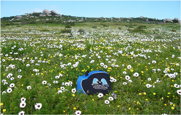 Bag posing amongst the daisies in Postberg, West Coast National Park, August 2013.