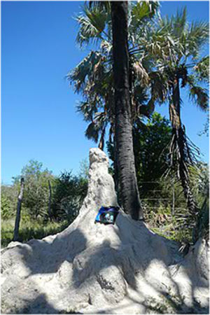 Bag climbing a termite mound in the Tsumeb district of Namibia, January 2013.