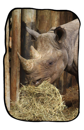 Folio's adopted rhino, Solio, still pops in at her old home at The David Sheldrick Wildlife Trust in Kenya - mostly for the lucerne